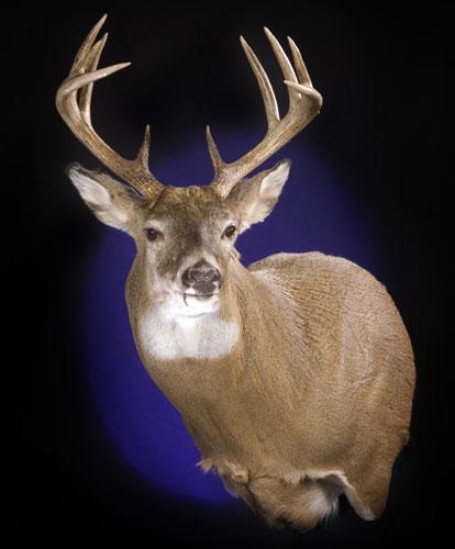 Rocky Mountain Whitetail Deer Shoulder Mount