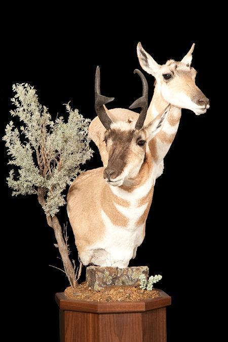 Pronghorn Antelope Double Pedestal On Walnut
